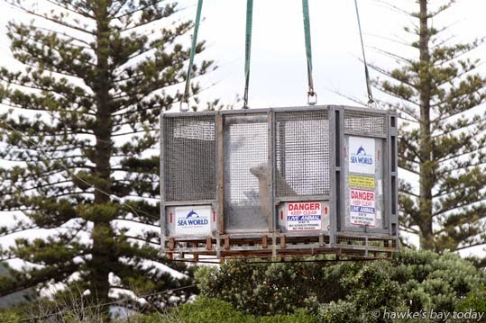 Dakota, a female California fur seal, one of five animals which were lifted out of Marineland, Napier, by crane, to be trucked to the Hawke's Bay Airport and airlifted to Auckland in an RNZAF Hercules, destined for Sea World, Gold Coast, Australia. photograph