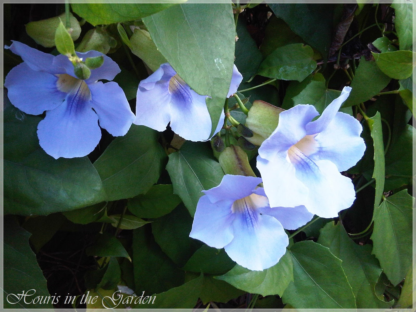 Houris in the garden thunbergia sky vine commonly known as blue sky vine it is scientifically named thunbergia grandiflora this vines are natives of south africa india and asia izmirmasajfo