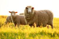 Bạn có biết tính hiệu quả của nhau thai cừu