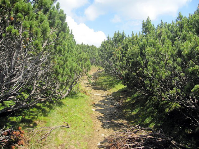 Wild Mountain Pines grown over 2000 meters altitude on Bucegi Mountains Plateau