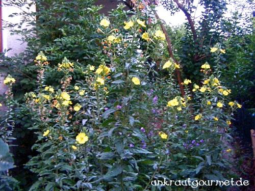 Blühendes Nachtkerzenfeld