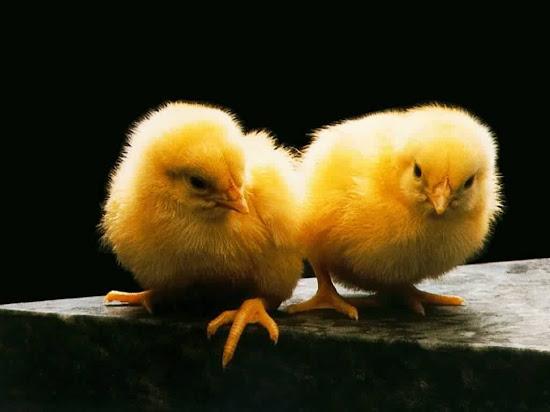 Que significa soñar con pollitos