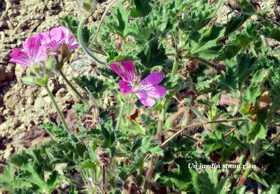 Design Pelargonium à odeur de rose