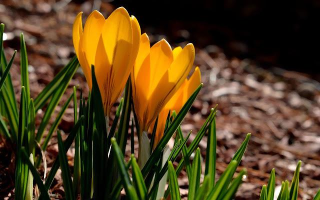 Oranje krokussen in de lente