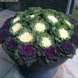 Gran maceta con coliflores moradas y blancas para adornar