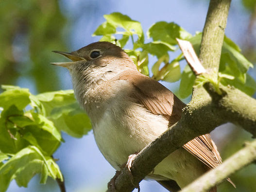 On The Wings Of A Nightingale