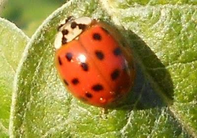 Share asian ladybug video were