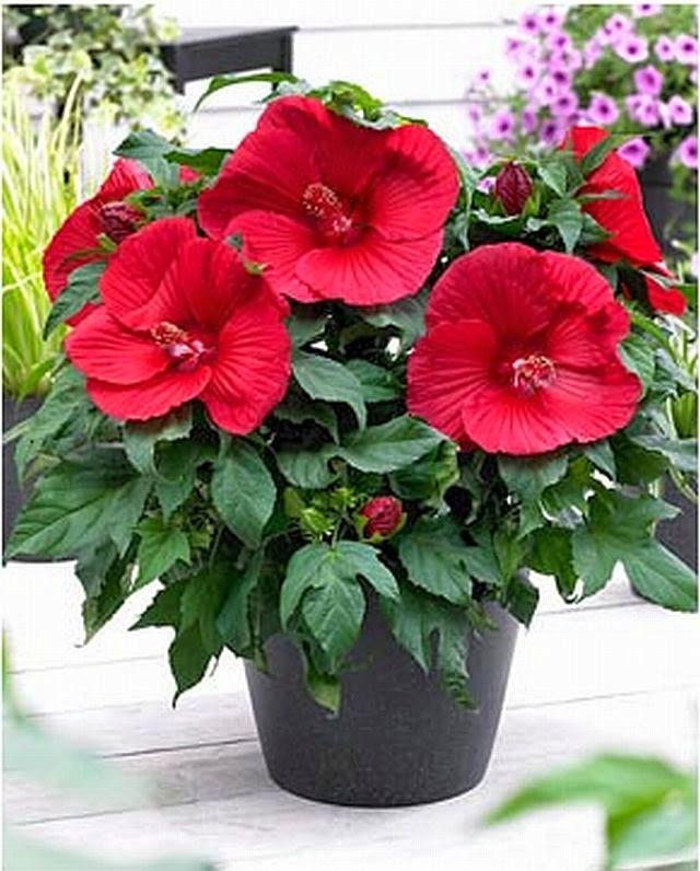 Hibiscus Flowershop Blog How To Winterize Your Hibiscus