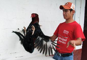 Entre los galleros famosos deUSA, darle el punto a un gallo para que ...