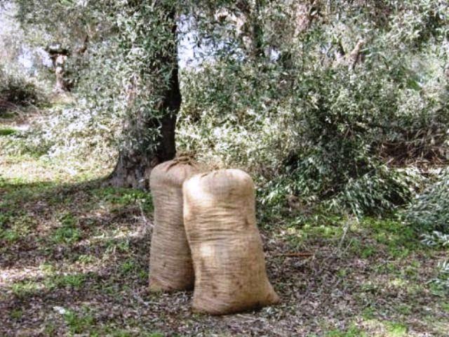 Κλέβουν ελιές και εξοπλισμό στο Δήμο Μεσσήνης