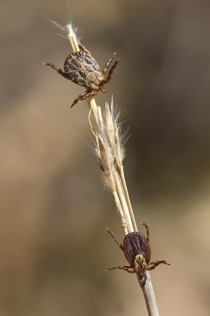 Para ampliar Dermacentor reticulatus, Dermacentor marginatus hacer clic