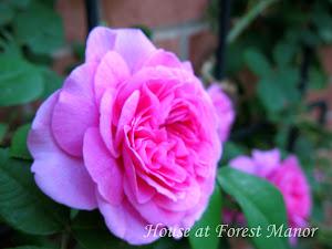 Our David Austin Roses