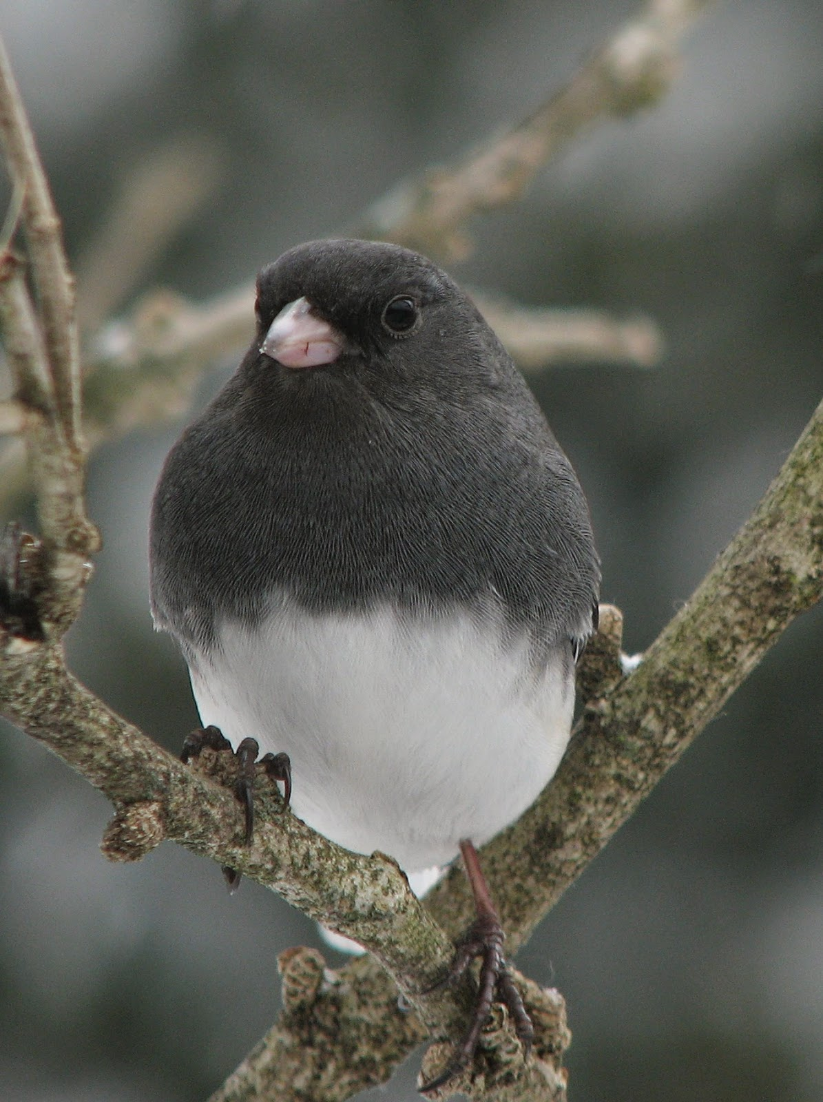 South Burlington birds: Dark-eyed Junco photos | South ...