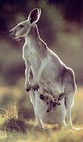 madre canguro y su cría en el interior de la bolsa marsupial
