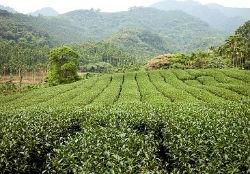tea suppliers