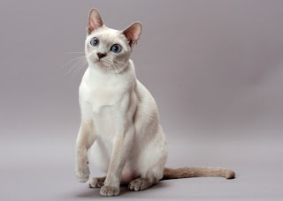 Tonkinese Cat Pictures