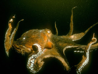 pacific-octopus Wallpapers