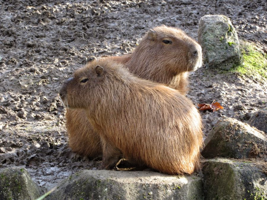 capybara Newquay Zoo