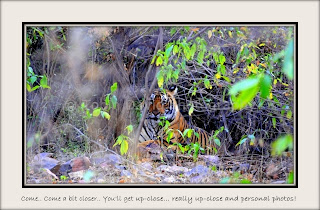 Tiger classic sitting pose, Ranthambore, Rajasthan, India