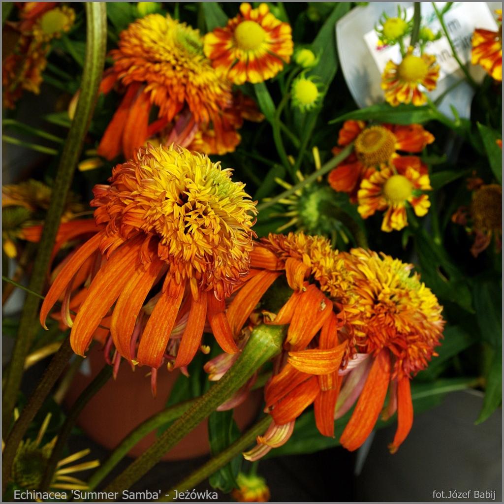 Echinacea 'Summer Samba' flowers - Jeżówka kwiaty