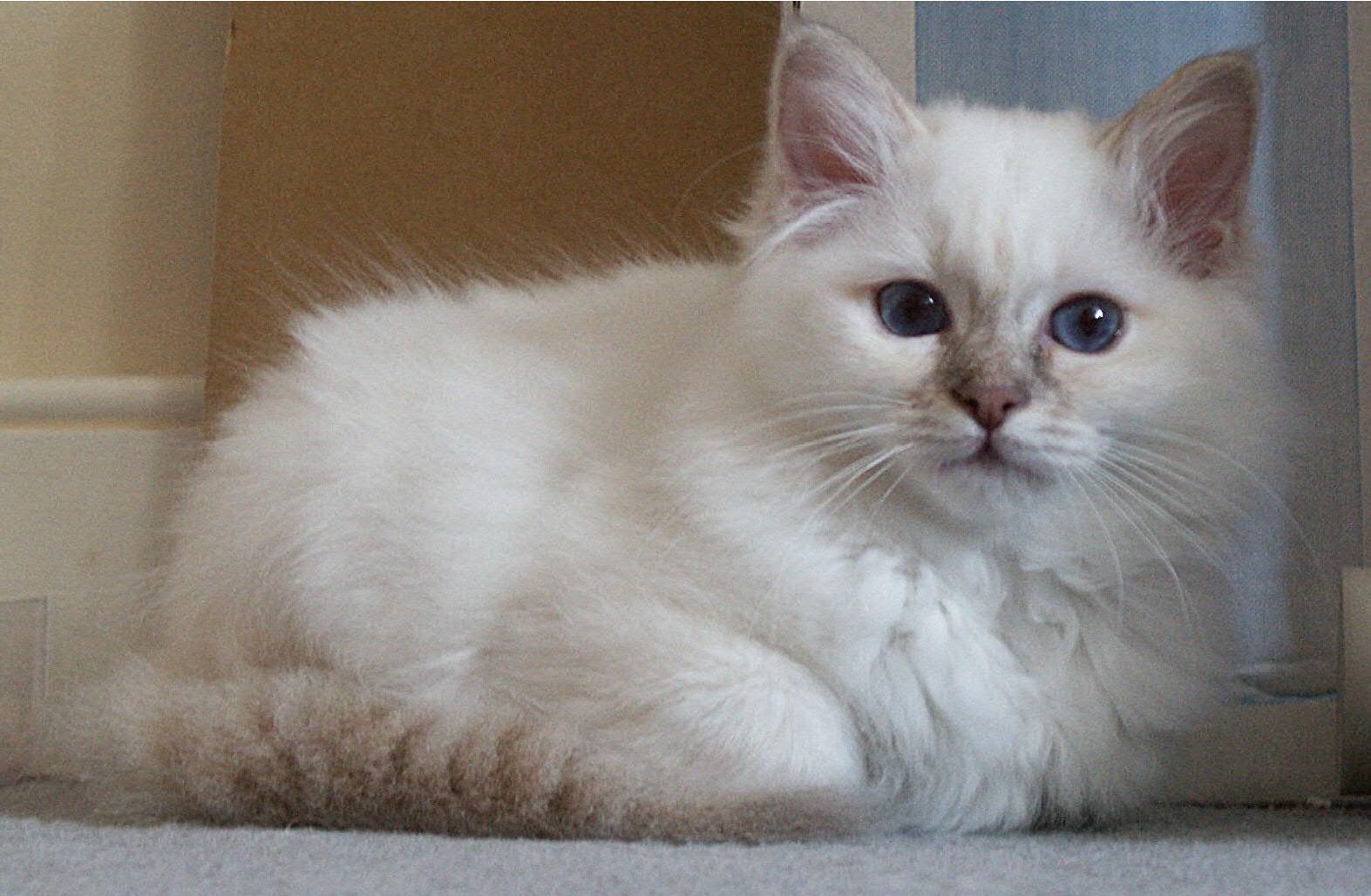 birman kitten pictures - photo #27