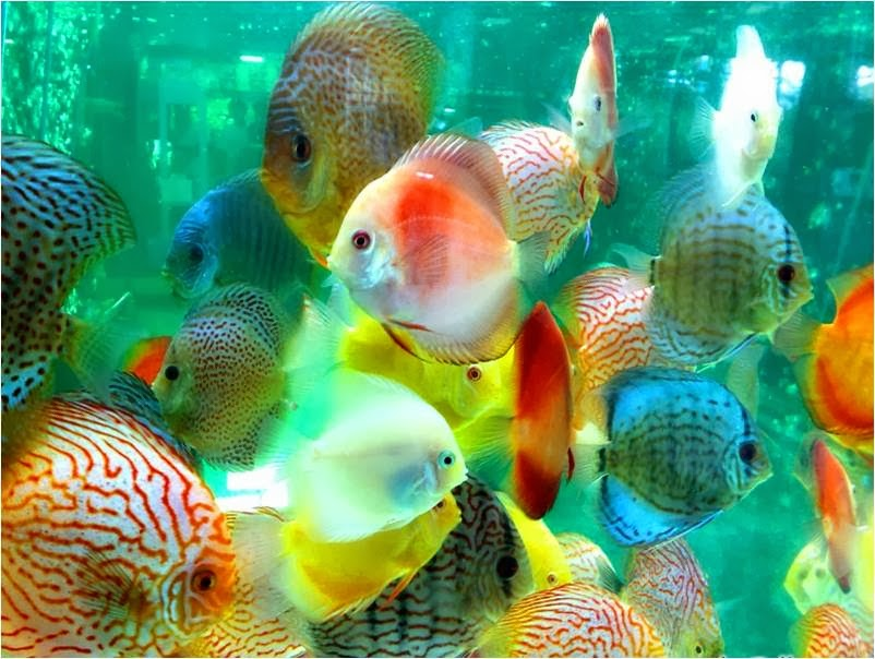 How to keep discus fish tropical fish for Rare freshwater aquarium fish