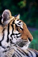 external image bigote+tigre.jpg