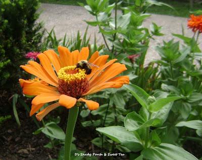 Zinnia #flowers #garden