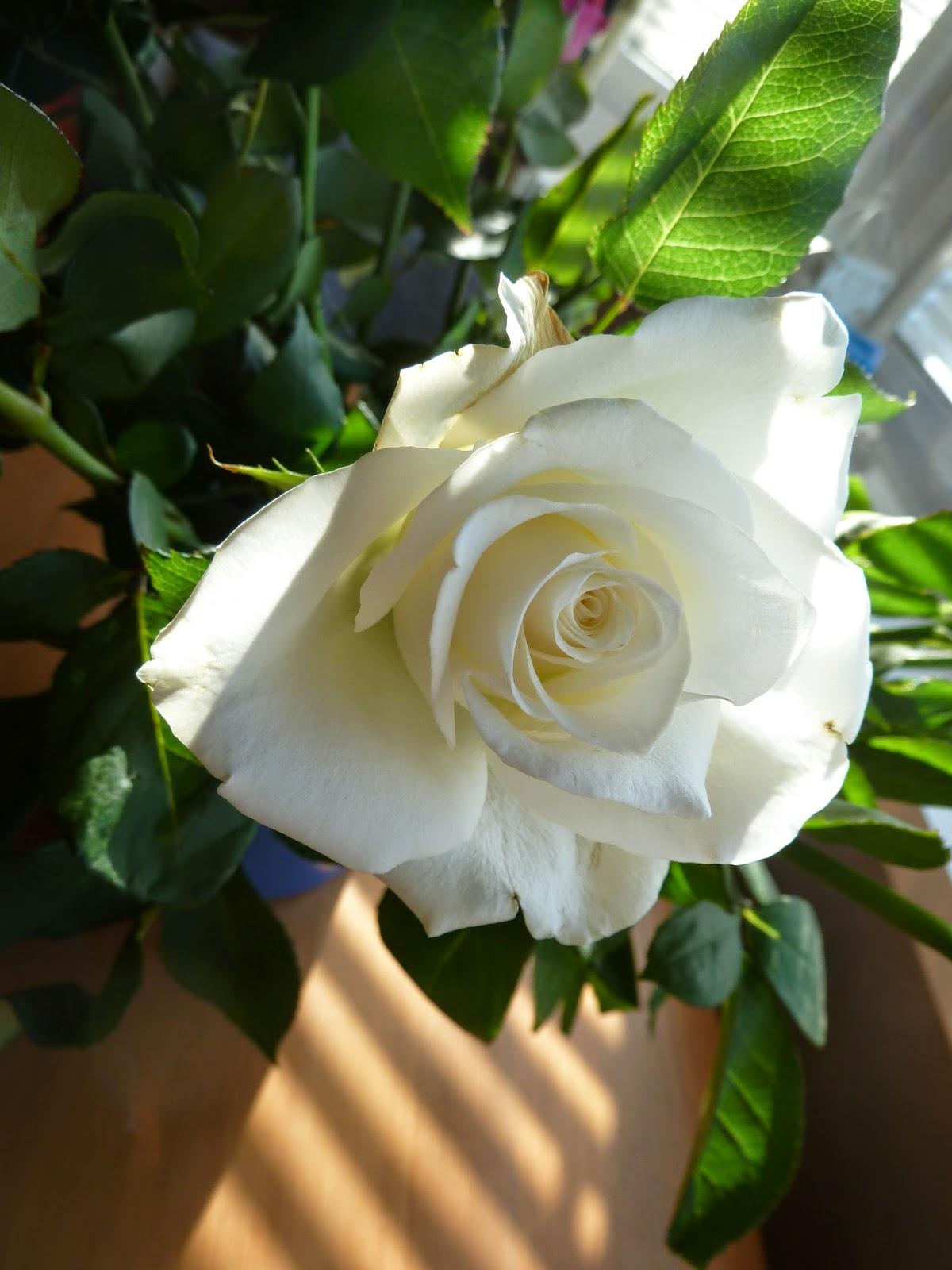 White rose in shaft of sun through blinds