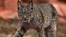 Lee un poquito de esta hermosa especie en extinción