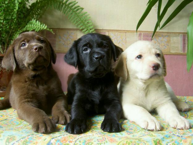 Labrador Retriever Dog Breeders Profiles And Pictures
