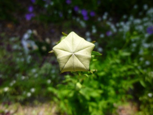 "Platycodon grandiflorus, Balloon Flower ""Mariesii"" flower bud"