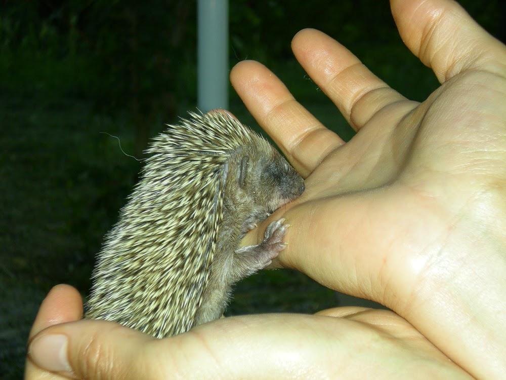 King news salvataggio di un riccio appena nato - Riccio in giardino ...