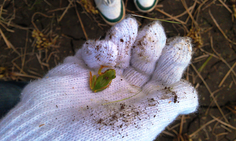 Green frog in white gloved hand