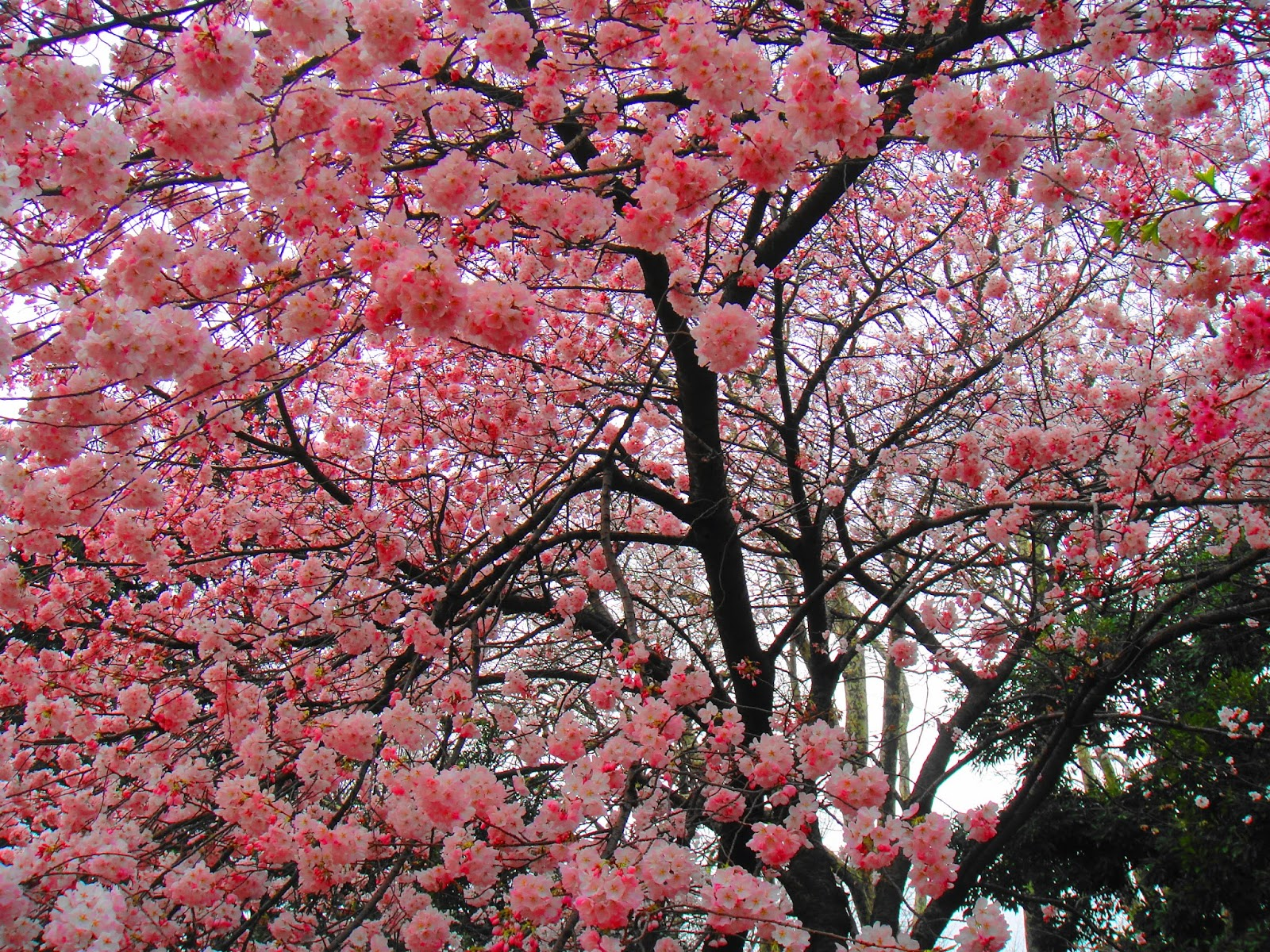big tree full of pink sakura