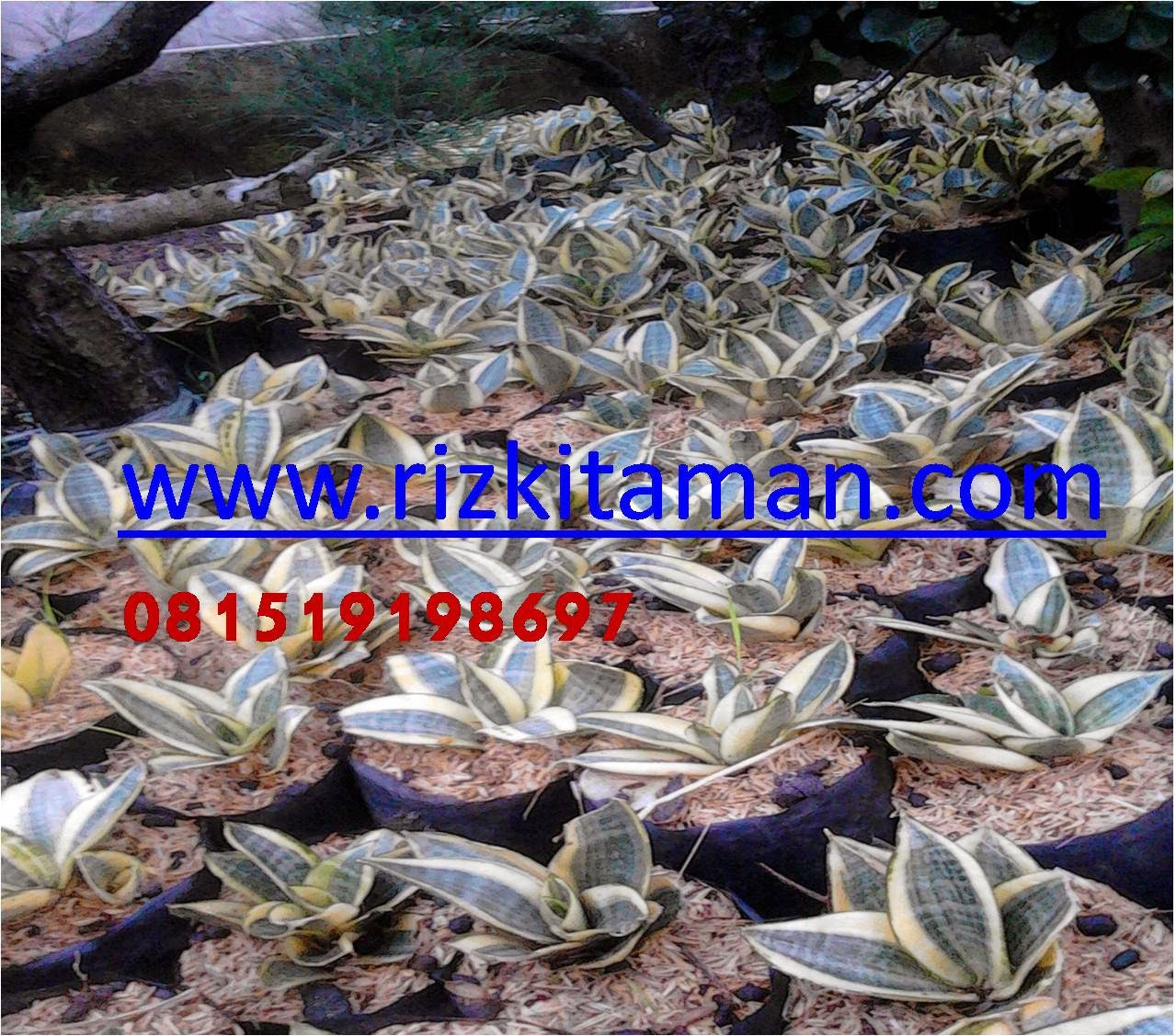 Jual Sansevieria hahni variegata | lidah mertua tapis kodok | suplier tanaman
