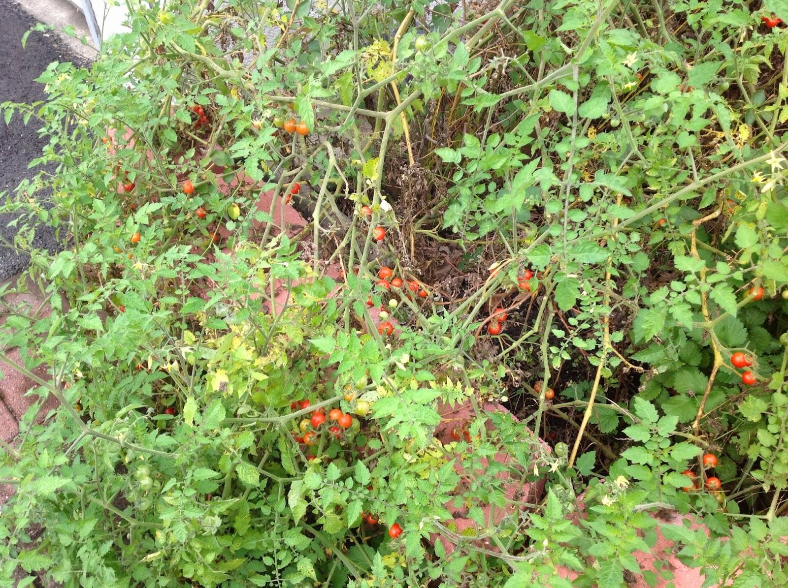 wild cherry tomato plants