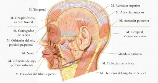 Anatomía: Sistema Musculo-Esquelético: Músculos de la mímica y la ...