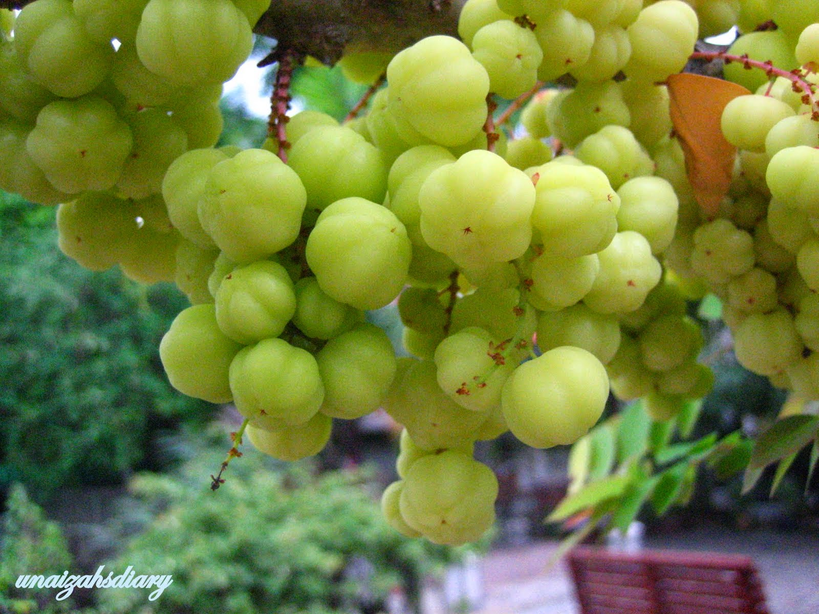 Health Benefits of Cermai Fruit (gooseberry, Phyllanthus acidus)