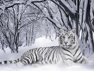 Wildlife-White-Tiger-Wallpaperas