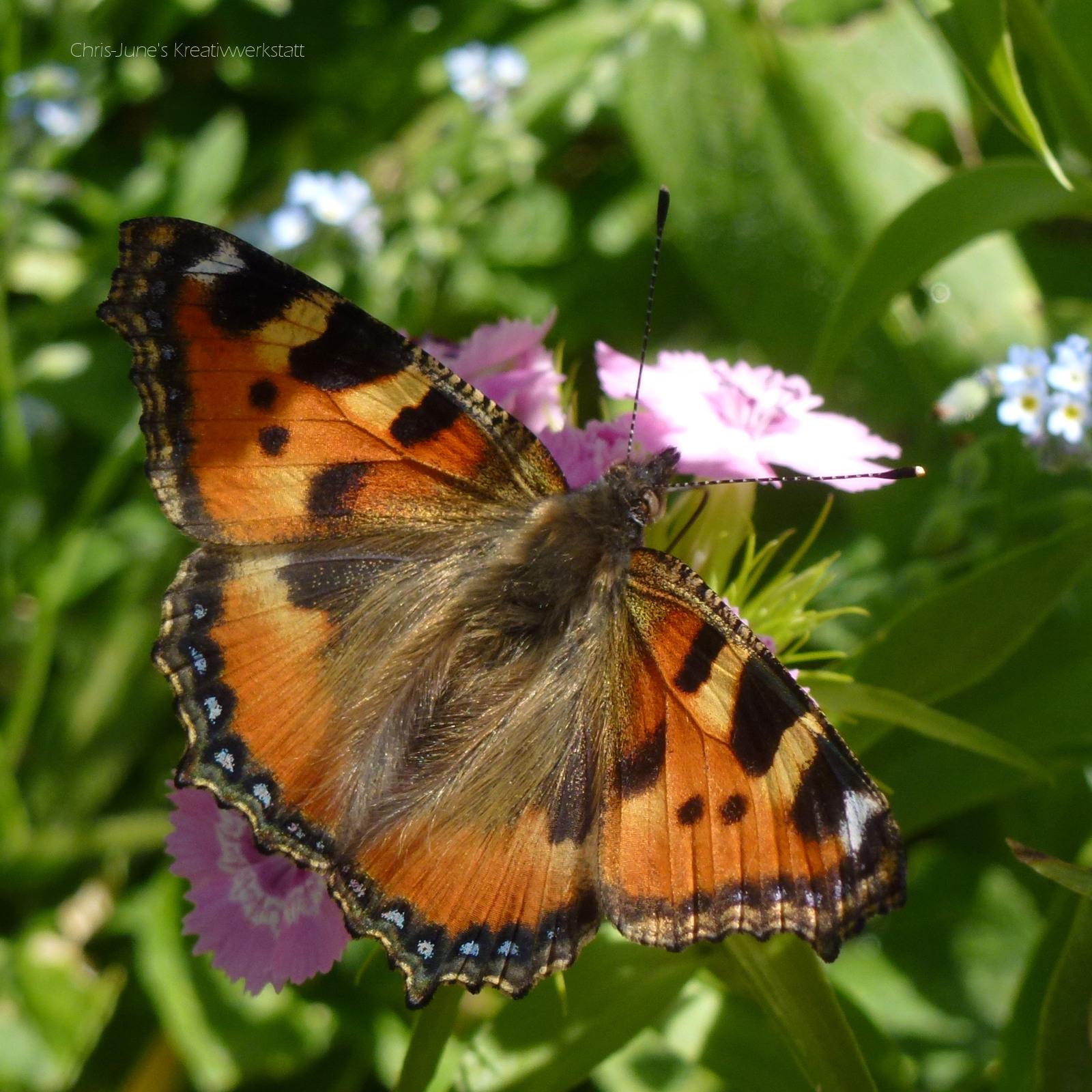 Kleiner Fuchs, Schmetterling