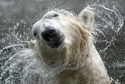 Polar bear in Point Defiance Zoo and Aquarium
