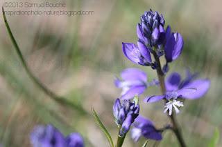 Macro d'une fleur bleue et violette, fleur des champs. Photo macro nature d'une fleur commune.