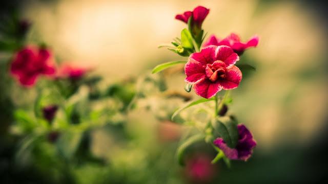 Hình ảnh hoa đẹp để trang trí tết 2016