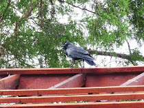 Cuervo observando