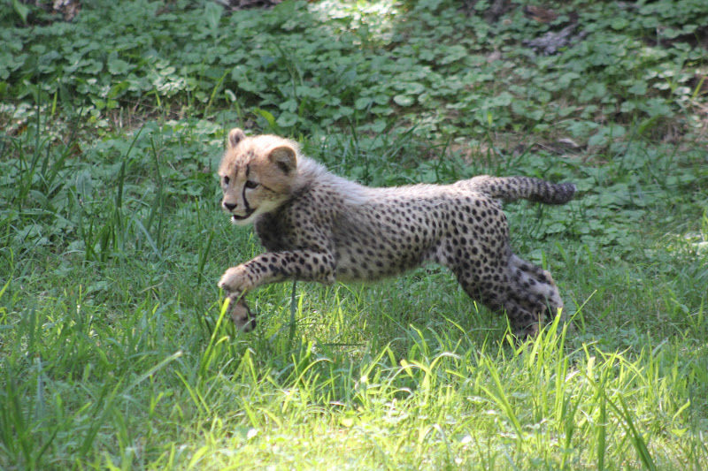 Baby cheetah running toward sibling cheetah Really Cute Baby Cheetahs