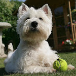 El Westie Highland White Terrier