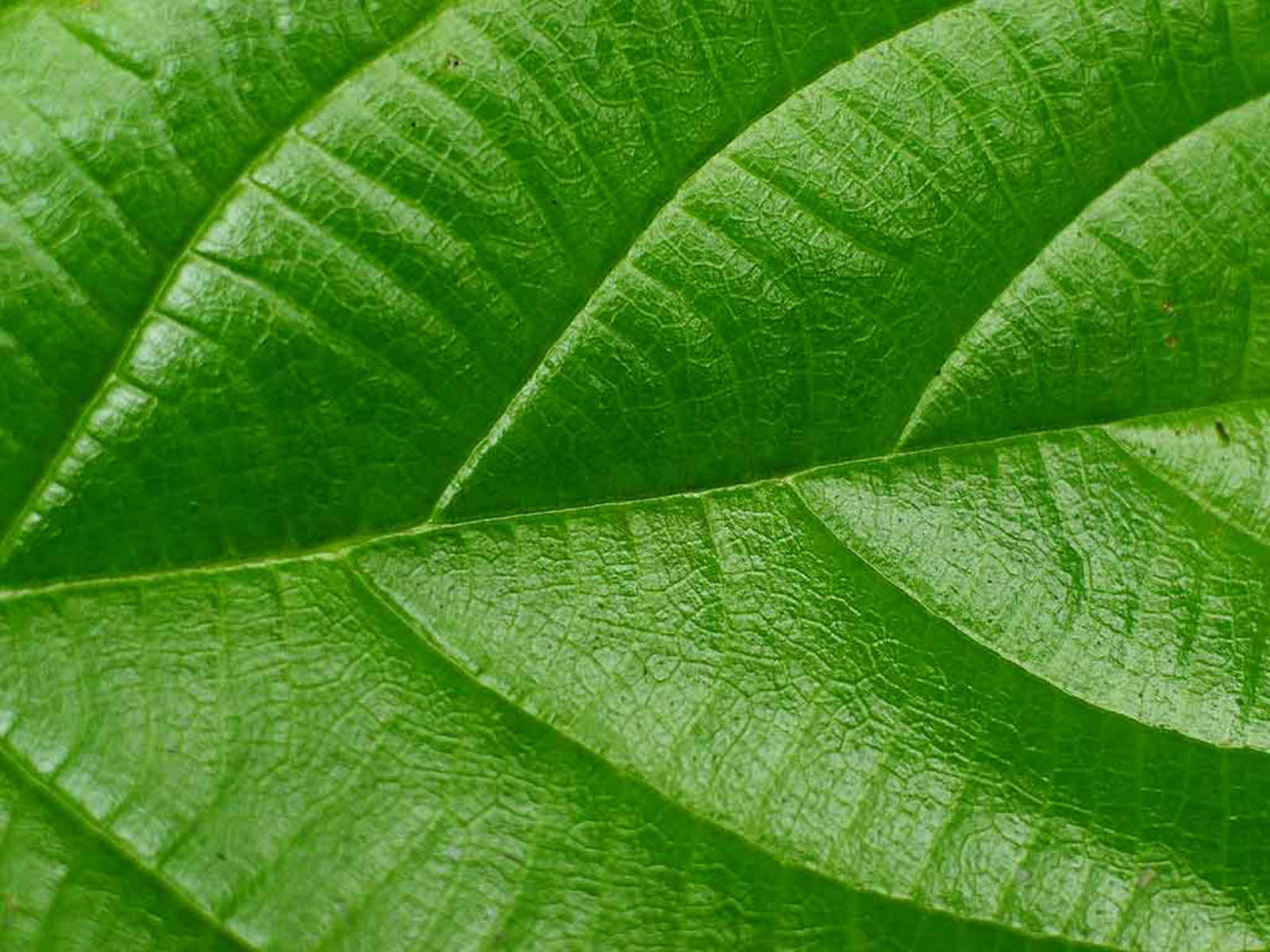 wallpapers green leaf wallpapers
