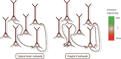 Diagram of synapses in typical and Fragile X brain networks