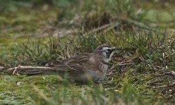 AMERICAN HORNED LARK-STAINES RESERVOIR-22ND JANUARY 2018